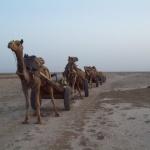 Camel Train by Sudev