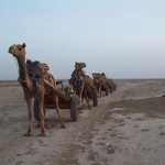 Camel Train by Sudev